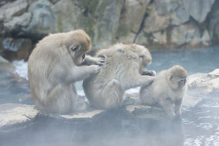 Scimmie al parco Jigokudani