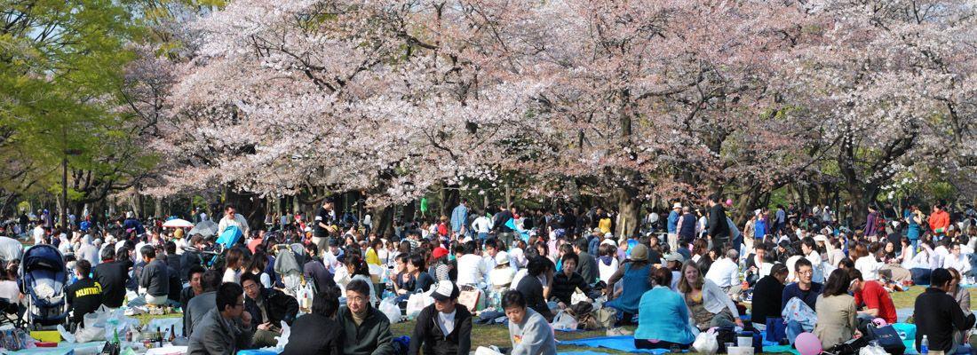 Persone fanno picnic in primavera al parco Yoyogi, sotto i ciliegi in fiore.