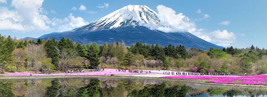 Fiori rosa e il Monte Fuji specchiato nel lago.