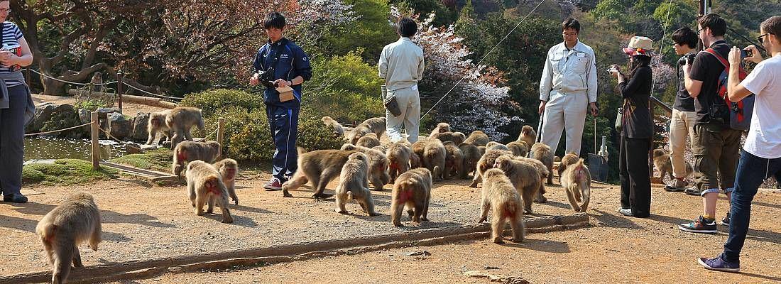 Persone giocano con le scimmie nel parco di Iwatayama.