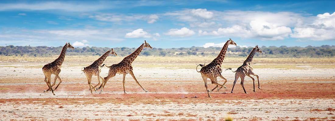 Giraffe corrono nel parco nazionale Etosha.
