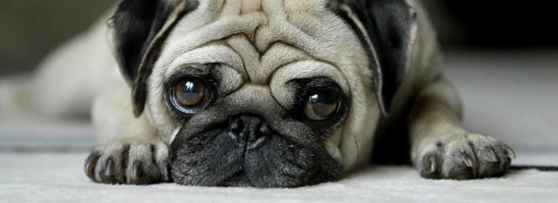 Un cane carlino si riposa.