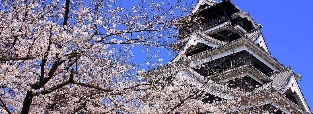 Il castello di Kumamoto contornato da fiori di ciliegio.