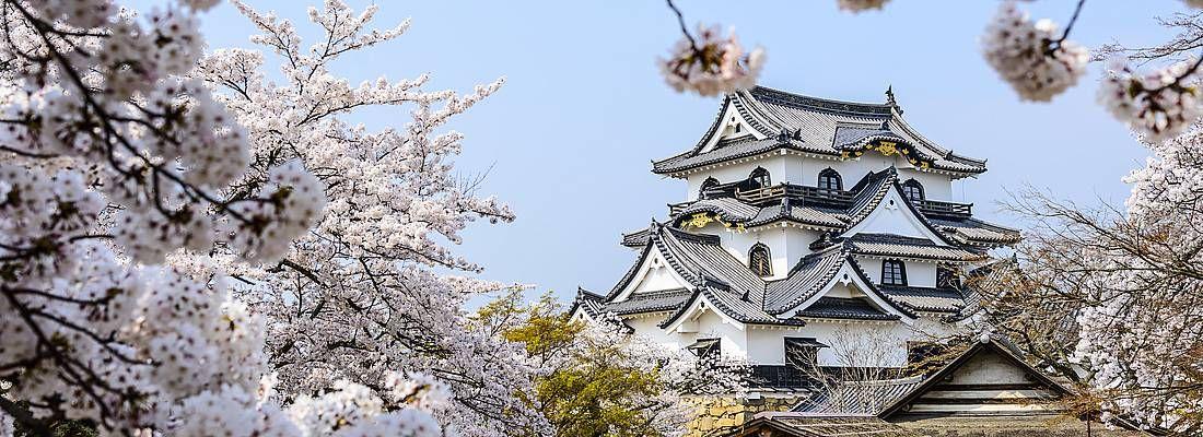 Il castello di Hikone contornato da splendidi fiori di ciliegio in primavera.