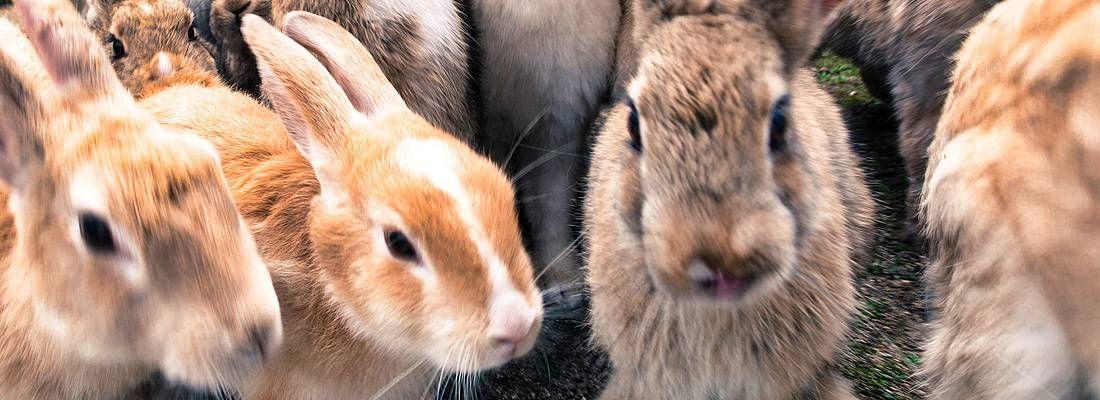 Gruppo di conigli sull'isola di Okunoshima.