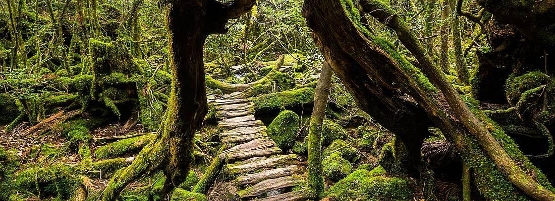 Rudimentali scale passano sotto un pittoresco albero in una foresta a Yakushima.