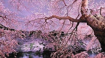 Sakura giapponesi in fiore, in primavera.