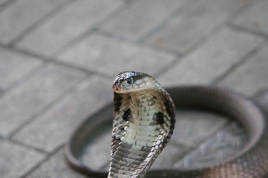 cobra-thai