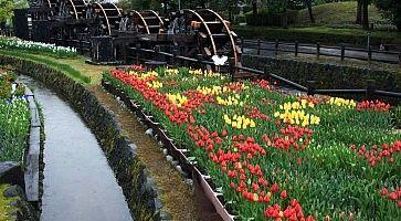 tulipani-tonami