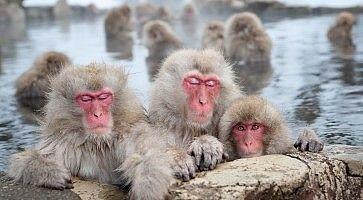 Macachi giapponesi fanno il bagno al parco di Jigokudani.