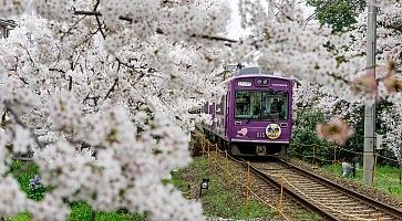 Treno diretto ad Arashihyama, passa a fianco a meravigliosi alberi di sakura in fiore, in primavera.