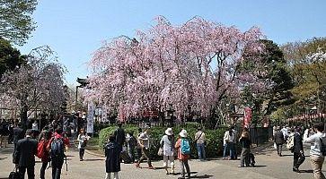 Albero di sakura in fiore al parco di Ueno.