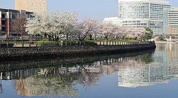 cherry blossoms on Kishamichi promenade, Yokohama, Japan
