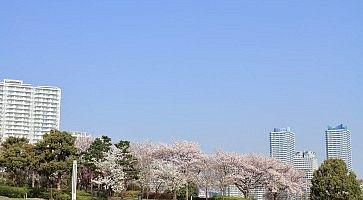 cherry blossoms at Rinko park and High rise condominium in Yokohama Minatomirai 21, Japan