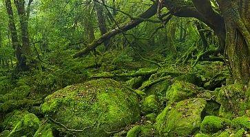 Lush rainforest along Shiratani Unsuikyo trail on Yakushima Island, Japan