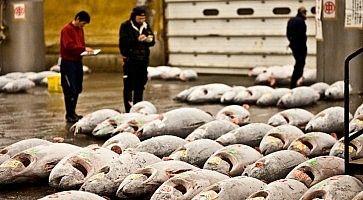Acquirenti esaminano i tonni prima dell'asta al mercato del pesce.
